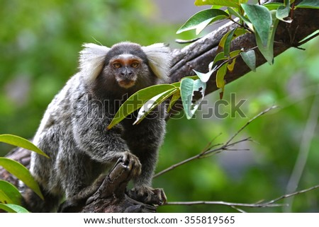 Common marmoset small monkey on the tree live in South America found in Bolivia, Brazil, Colombia, Ecuador, Paraguay and Peru - stock photo