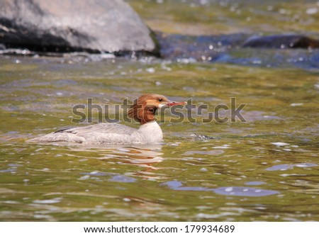 common merganser - stock photo