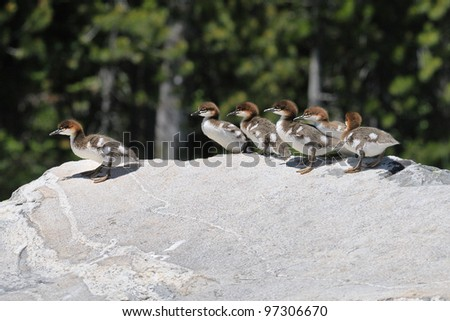 Common Merganser chicks at Grand Tetons National Park in Wyoming - stock photo