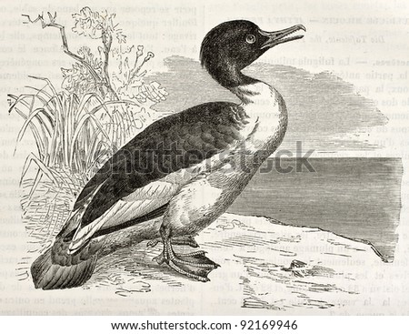 Common Merganser old illustration (Mergus merganser). Created by Kretschmer and Wendt, published on Merveilles de la Nature, Bailliere et fils, Paris, ca. 1878 - stock photo