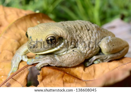 Common milk frog (Trachycephalus venulosus) - stock photo