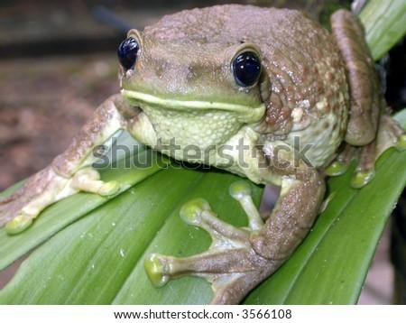 common milk treefrog (Trachycephalus venulosus) - stock photo