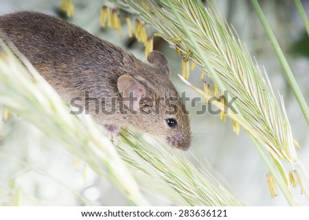 Common mouse (Mus musculus) down the grasses - stock photo