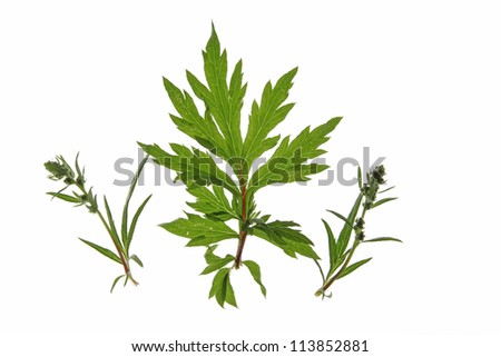 Common mugwort (Artemisia vulgaris) isolated against a white background - stock photo