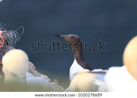 Common murre or common guillemot (Uria aalge) on the island of Heligoland, Germany