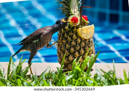 Common Myna Acridothere tristis and coctail in pineapple near the pool - stock photo