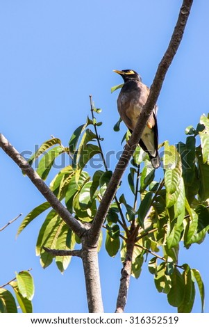 Common Myna (Acridotheres tristis) standing on the branch of tree