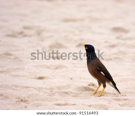 Common Myna (Acridotheres tristis) with a place for an inscription - stock photo