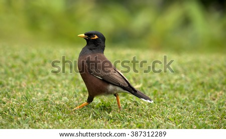 Common Myna bird ( Acridotheres tristis) is originally from India and Iran.  It was introduced to many tropical locations to combat insect infestations.  This includes Hawaii - stock photo