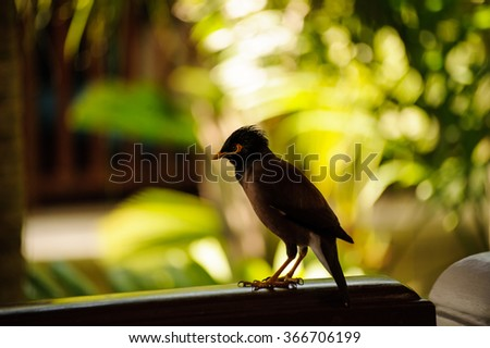 common myna bird from southeast asia thailand