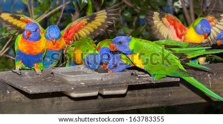 common native parrot the lorikeet, often kept as pets, noisy and cheeky - stock photo