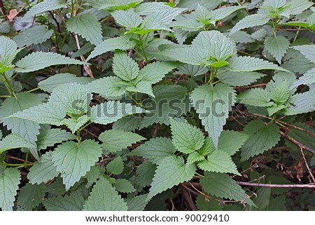 common nettle, officinal plant with stinging leaves  - medicinal herb used to prepare therapeutic infusions and healthy meals - stock photo