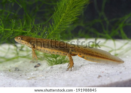 Common newt (Lissotriton vulgaris) in the pond - stock photo