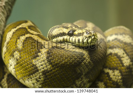 Common Northern Boa, Boa constrictor imperator - stock photo