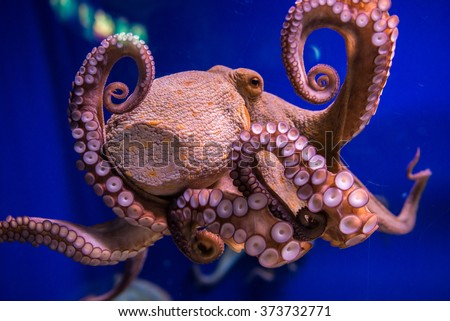 Common octopus in large sea water aquarium
