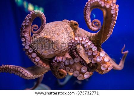 Common octopus in large sea water aquarium - stock photo