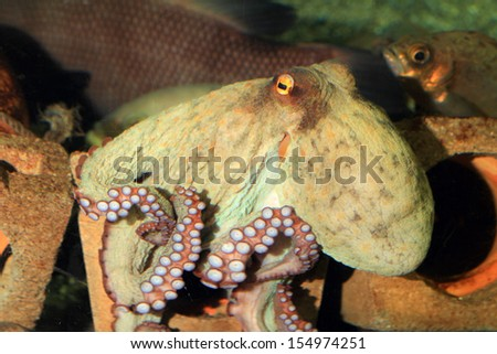 Common octopus (Octopus vulgaris) in Japan - stock photo