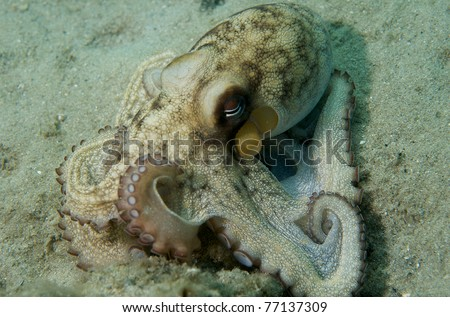 Common Octupus, picture taken in Palm Beach County, Florida. - stock photo
