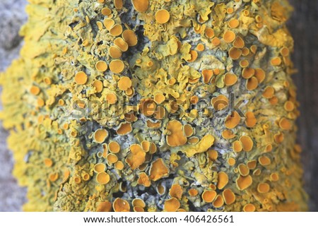 Common orange lichen (Xanthoria parietina), known also as yellow scale, maritime sunburst lichen and shore lichen  - stock photo