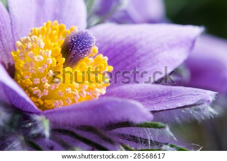 Common Pasque flower or Dane's Blood (Pulsatilla vulgaris) - stock photo