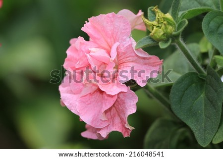 Common Petunia flower,closeup of pink Common Petunia flower in bloom  - stock photo