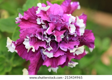 Common Petunia flower,purple and white Common Petunia flower blooming in the garden  - stock photo