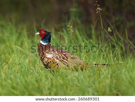 Common Pheasant (Phasianus colchicus)        - stock photo