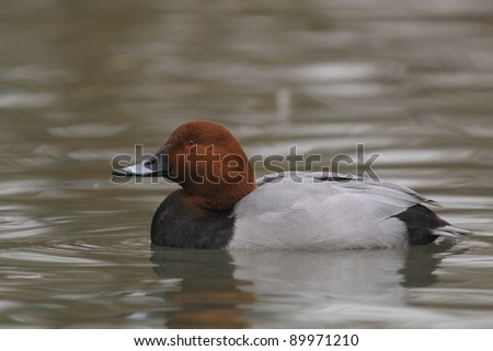 Common Pochard, Aythya ferina