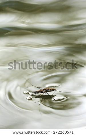 Common Pond Skater - stock photo