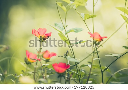 Common Purslane or Verdolaga or Pigweed or Little Hogweed or Pusley flower in the garden vintage - stock photo