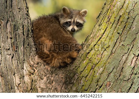 Common Raccoon looking out from the crotch of a tree.