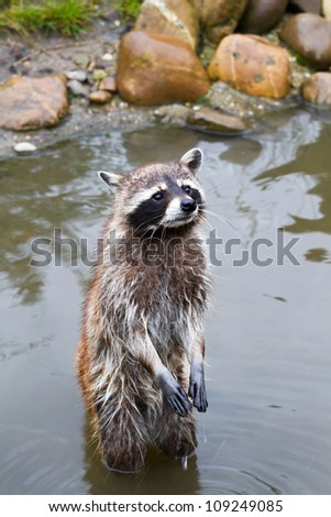 Common raccoon or Procyon lotor standing in water - stock photo