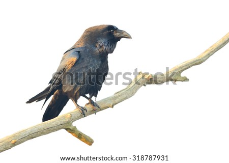 Common raven. Bird isolated on white