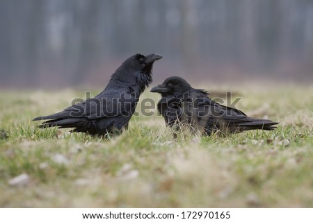 Common Raven (Corvus corax) - stock photo
