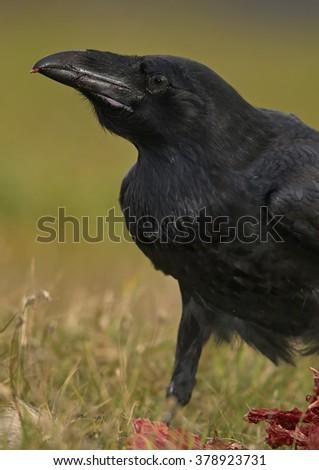 Common Raven (Corvus corax)    - stock photo
