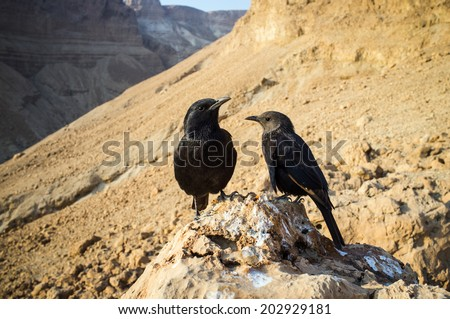 Common Raven Corvus corax also known as the Northern Raven in Masada Israel - stock photo