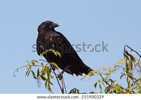 Common Raven, Corvus corax, perched - stock photo