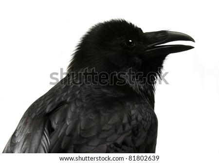 Common Raven portrait isolated on white - stock photo