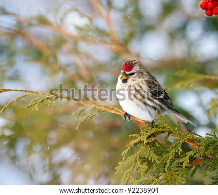 Common Redpoll bird, female, perched on a branch in the winter with falling snow, and red berries.