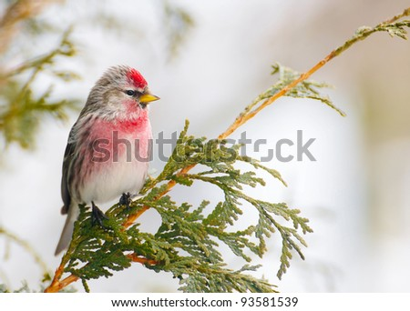 Common Redpoll bird, male, perched on a branch in the winter.