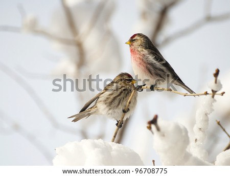 Common Redpoll birds, male and female, perched on a lilac branch after a big snow and ice storm. - stock photo
