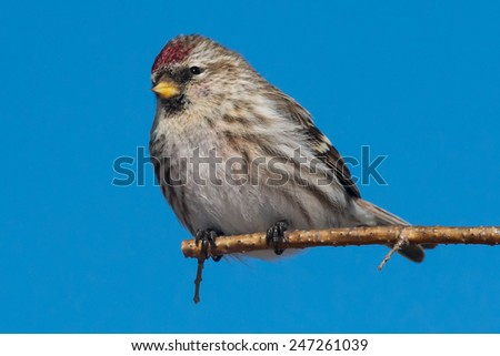 Common Redpoll perched on a branch.