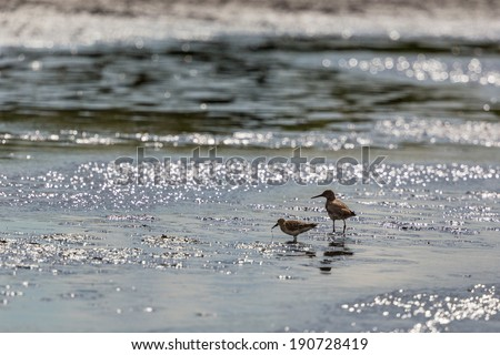 Common Redshank and Curlew Sandpiper on the shore