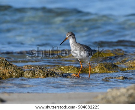 Common Redshank Foraging on the Sea Shore