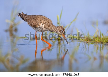 Common Redshank (Tringa totanus) wading through shallow water and foraging for food like water insects. - stock photo