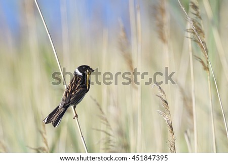 Common Reed Bunting - stock photo