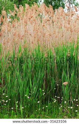 Common Reed, Phragmites Australis, a tall perennial grass seen here standing over seven feet tall - stock photo