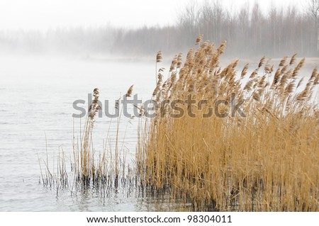 Common Reed (Phragmites) in the River on Foggy Day - stock photo