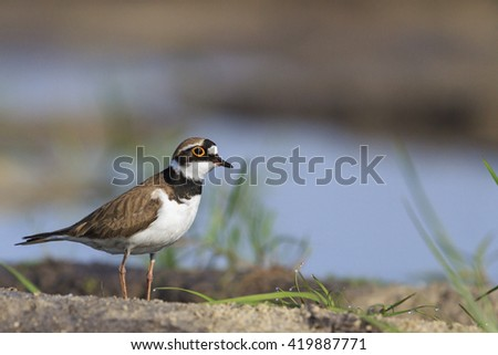 Common ringed plover and the dew on the grass,nesting birds, waterbirds
