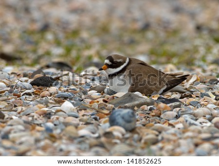 Common Ringed Plover Charadrius hiaticula sits on her eggs - stock photo